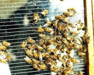 دستگاه زهرگیر زنبور عسل